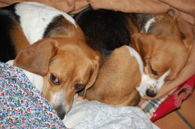 FILOU, beagle de 3 ans (59) en FA chez Fabou [Adopté] - Page 5 Dsc_1157