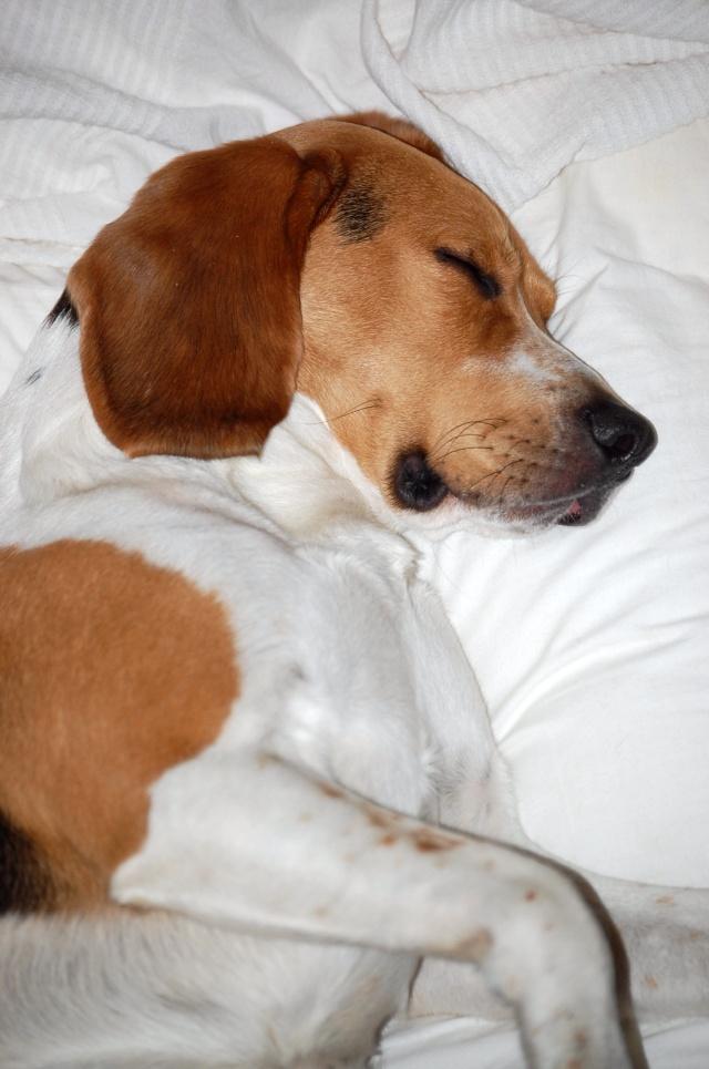 FILOU, beagle de 3 ans (59) en FA chez Fabou [Adopté] - Page 6 Dsc_1164