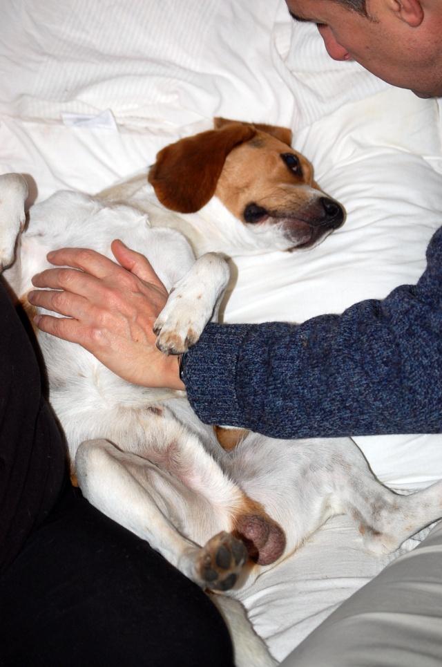 FILOU, beagle de 3 ans (59) en FA chez Fabou [Adopté] - Page 6 Dsc_1165