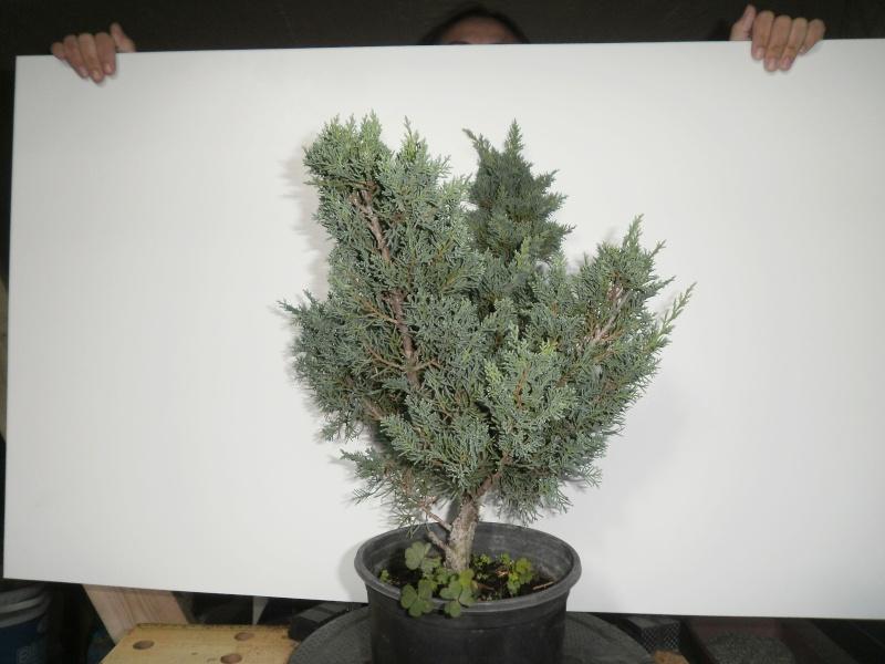 ginepro chinensis 00212