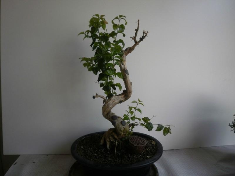 horror bonsai gallery 00821