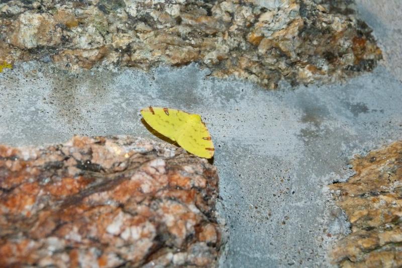 La Citronnelle rouillée (Opisthograptis luteolata) - imago, chenille, chrysalide Citron10