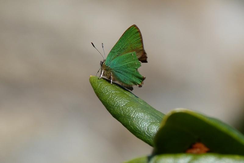 Argus vert ou Thécla de la ronce (Callophri rubi) P1120810