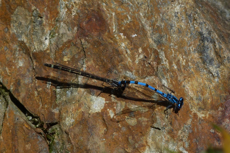 Agrion? P1140013