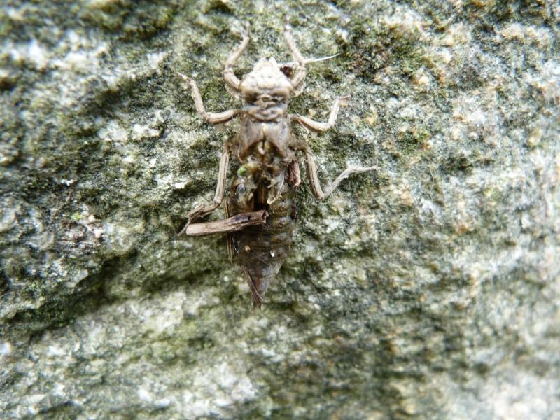 Gomphus pulchellus et exuvie. P1140311
