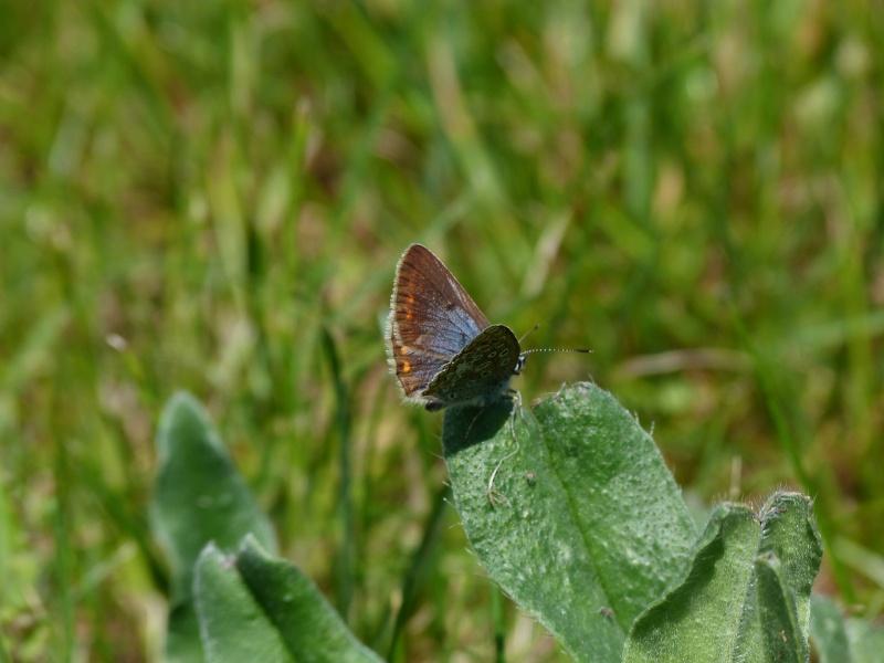Polyommatus icarus femelle?? P1150411
