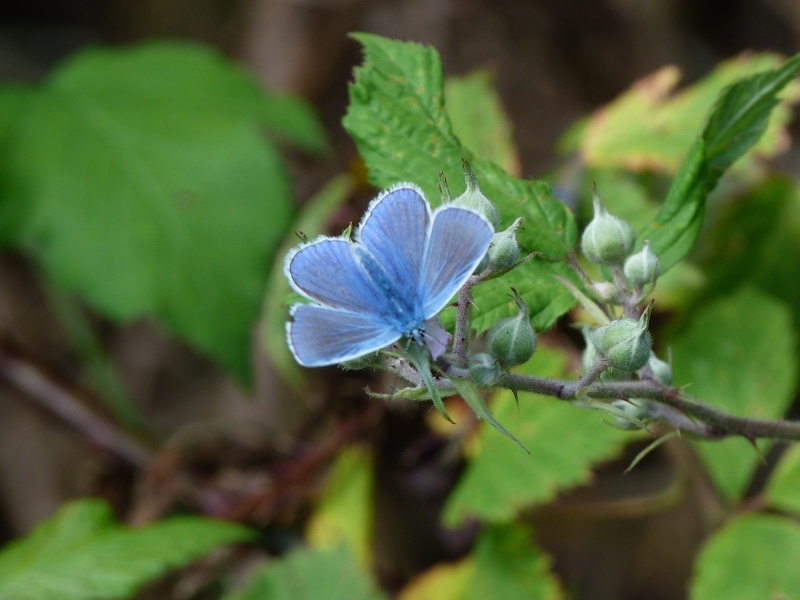 Polyommatinae??? P1150810