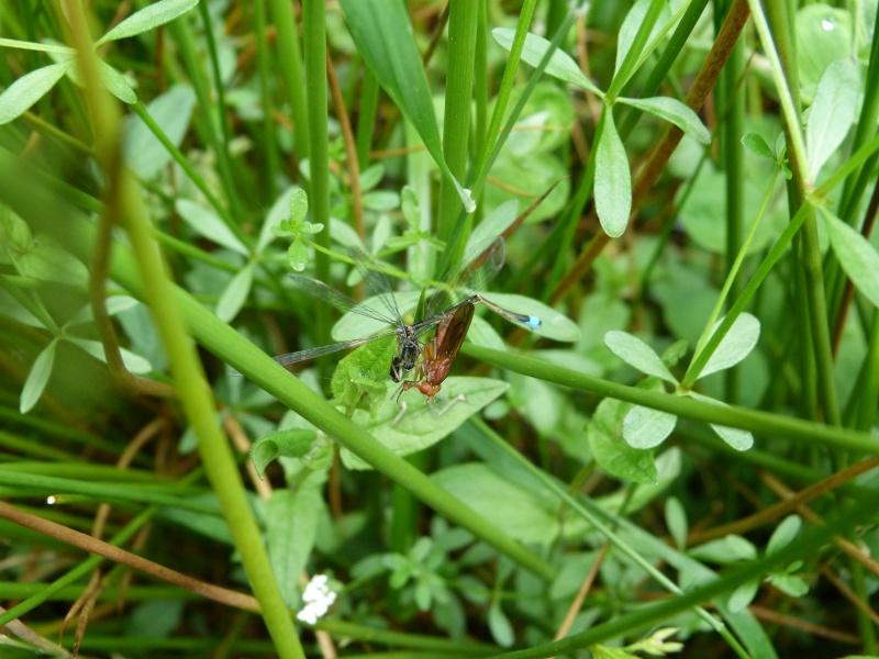 Mise à mort d'un Ischnura elegans, P1160414