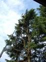 cedro del libano  Dscf0621