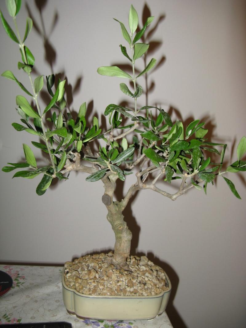 olivo foglie Img_3111