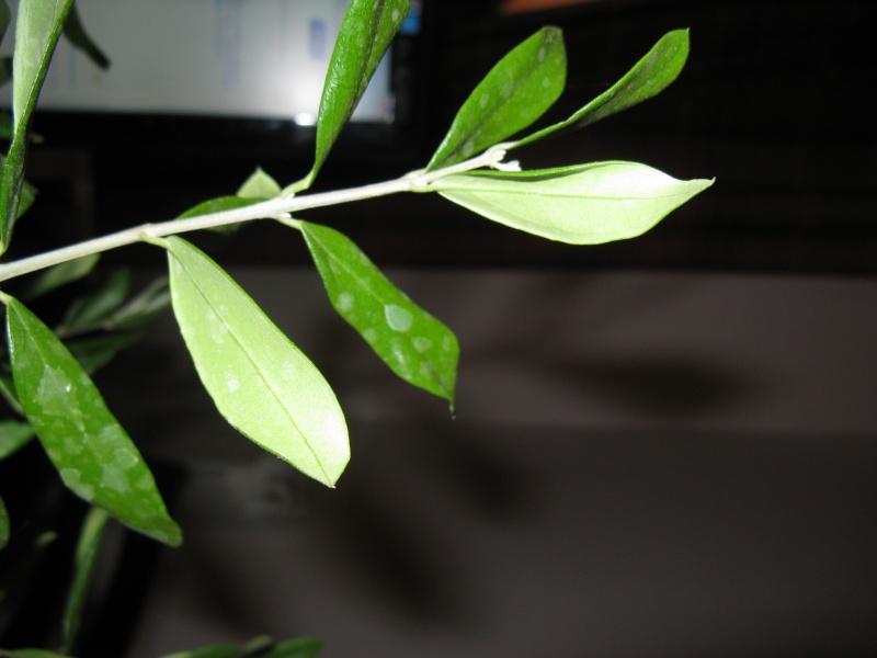 olivo foglie Img_3112