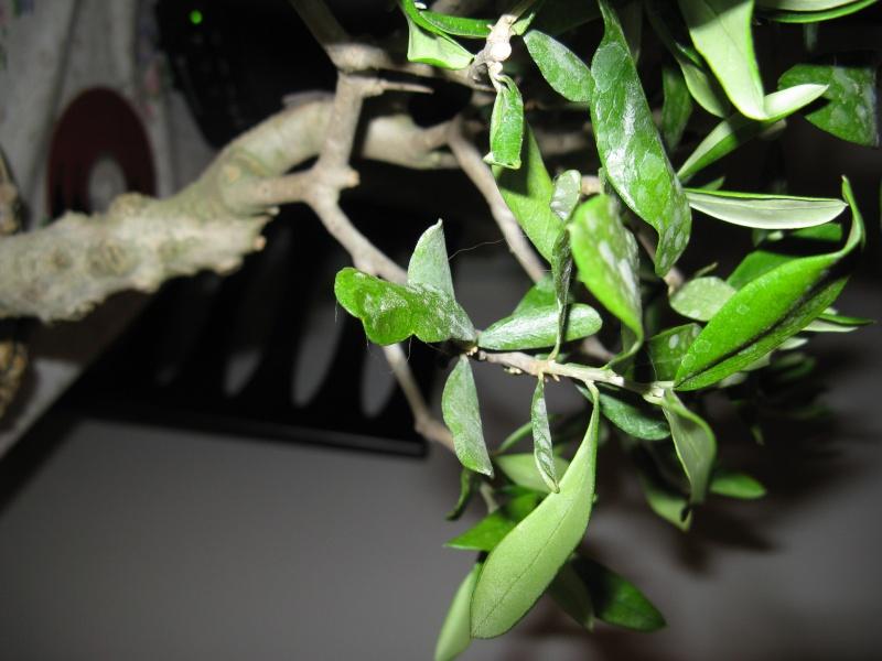 olivo foglie Img_3113