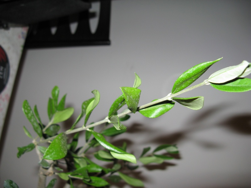 olivo foglie Img_3114