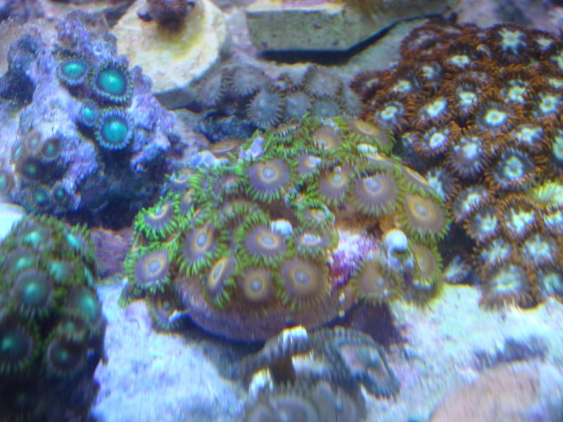 FS: Zoas (inc. space monsters), favia, and leather Dsc06412