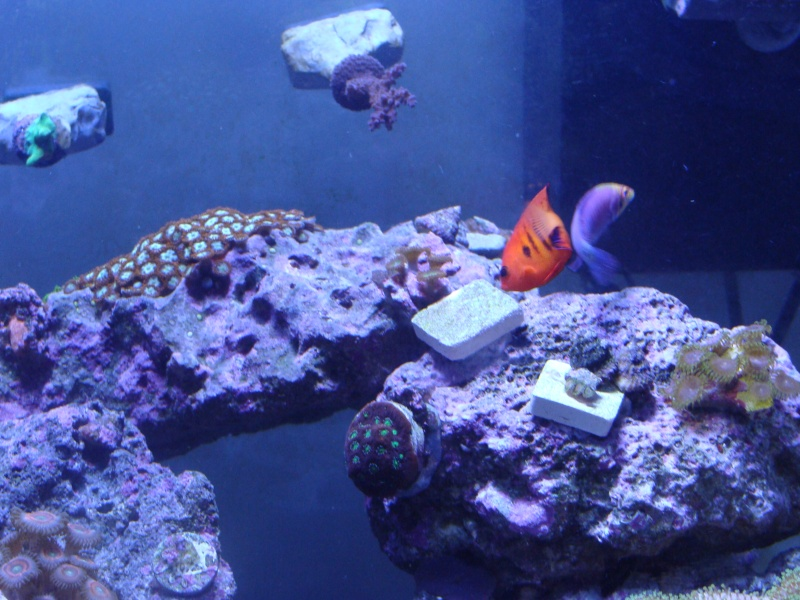 Nicks 56 Gallon Saltwater tank - Page 3 Dsc06824