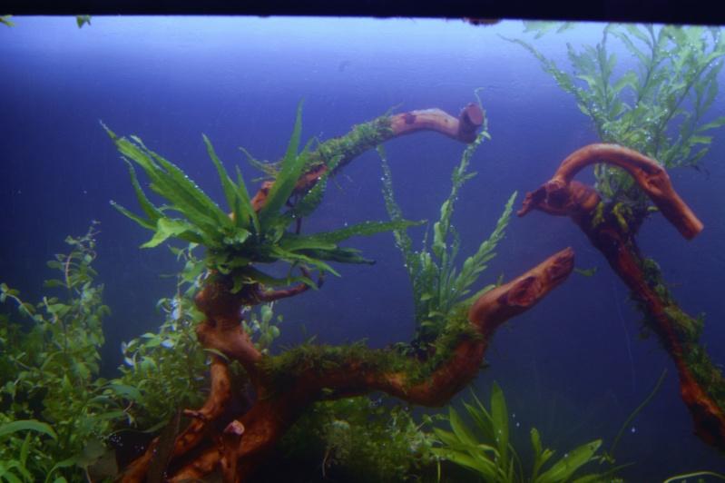Mon premier aquarium 200 L  _dsc1615