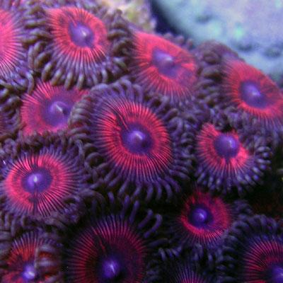 Coral Porn part 2 Aogpal10