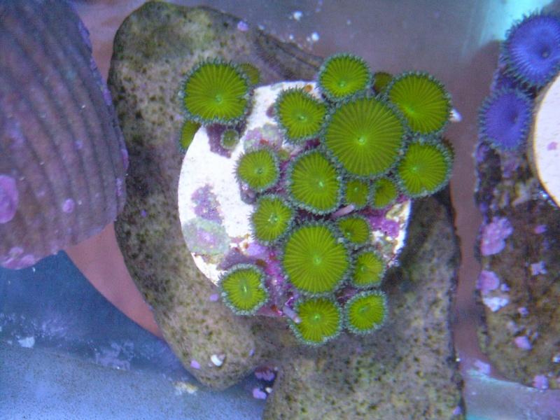 Coral Porn part 2 Swc13112