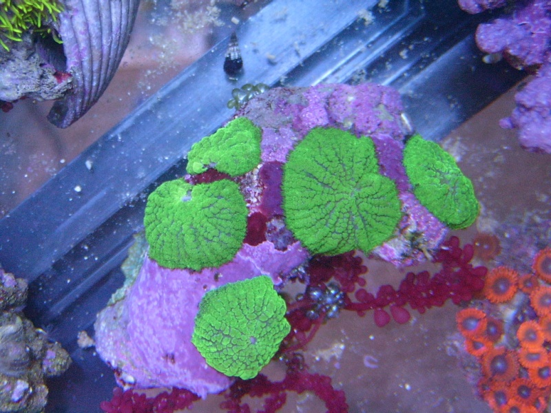 Coral Porn part 2 Swc13114