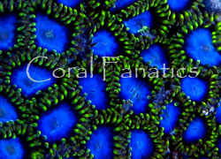 Coral Porn part 2 Zoo13610