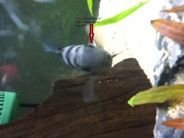 Maladie ? Oeil d'un de mes poissons Img_0613