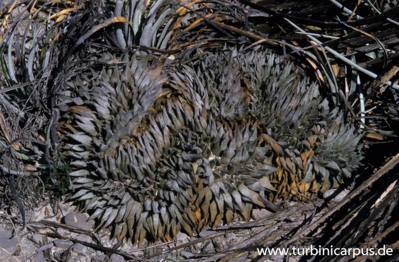 Ariocarpus retusus Cristate in Mexico Arioca10
