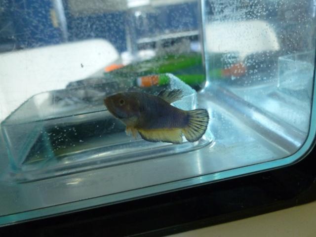 repro hm bleu/jaune et femelle hm mg P1000715