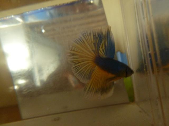 repro hm bleu/jaune et femelle hm mg P1000716