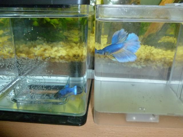 repro hm bleu/jaune et femelle hm mg P1000717