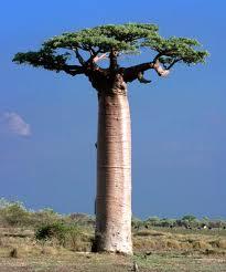 Messaggio per Volma Baobab10