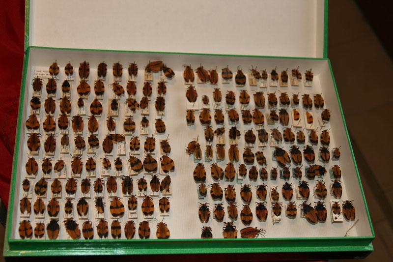 Je brade ma collection de coléoptères Img_2814