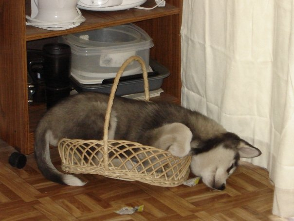 Show me your sleeping husky! Basket10