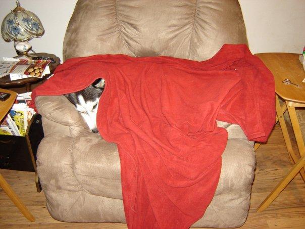 Show me your sleeping husky! Cozy10