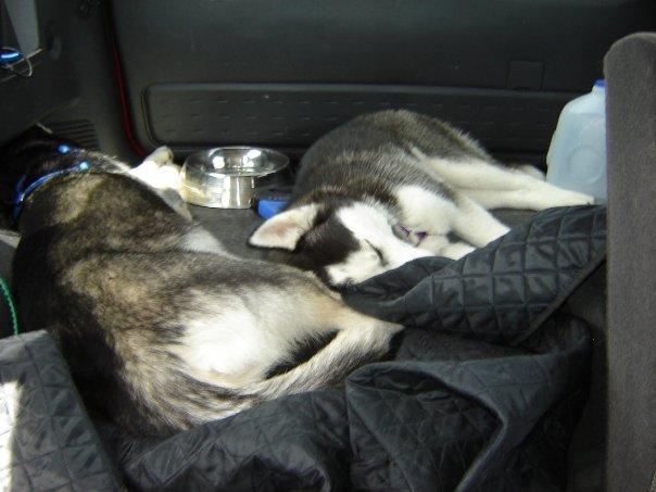 Show me your sleeping husky! Crashe10