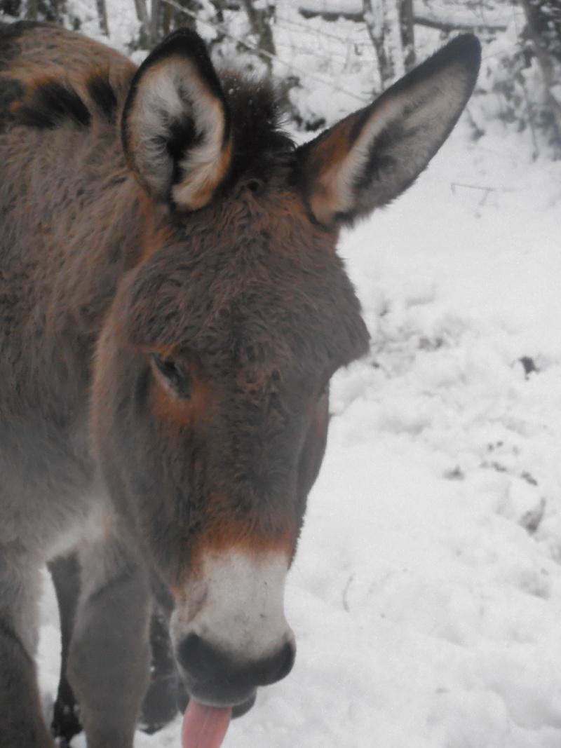 Les chevaux dans la neige Pc080511