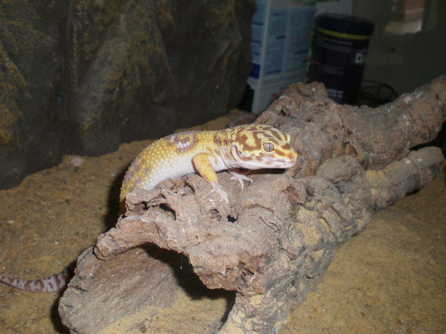 gecko léopard mâle P5310010
