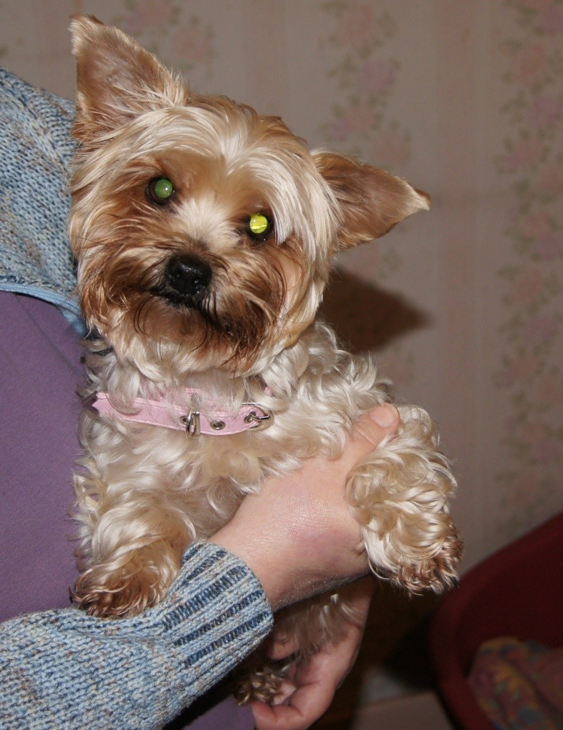 Molly - 1-2 years old female Yorkie Dsc00510