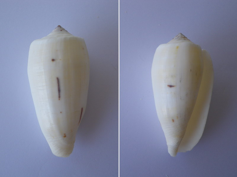 Conus (Pionoconus) magus   Linnaeus, 1758 Cone11