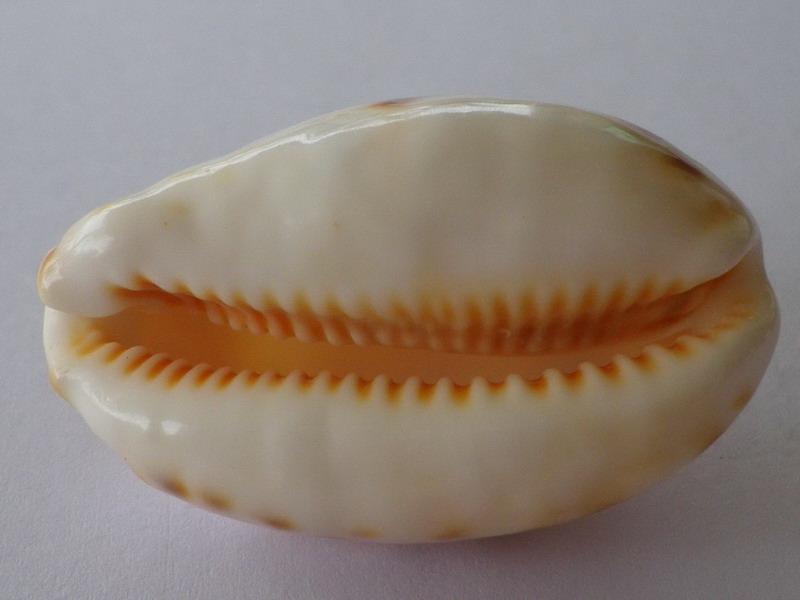 Lyncina lynx - (Linnaeus, 1758) - Juvénile Imgp4429