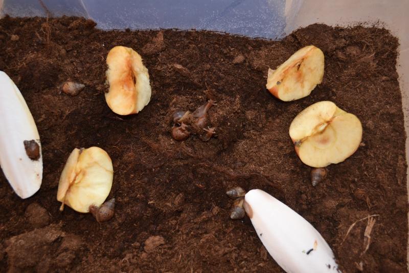 Achatina Fulica  ET Achatina Fulica Jade (albinos) ESCARGOT GEANT AFRICAIN  Dsc_0111