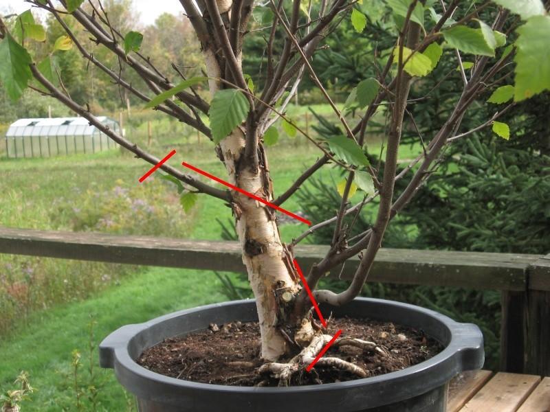 Betula nigra, pretty jazzed Betula10