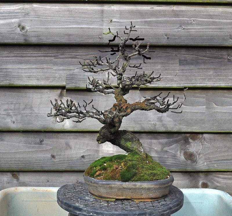 RESTYLING MY OLD BLACKTHORN BONSAI (COMPLETELY)! Black10