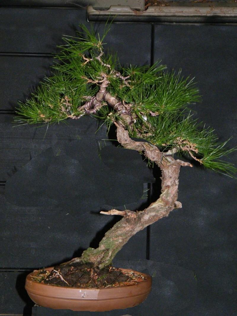 Japanese Red Pine Dscf1210