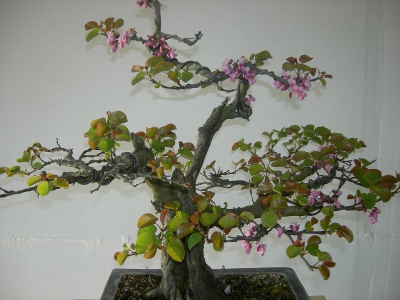 Cercis canadensis Dscn9414