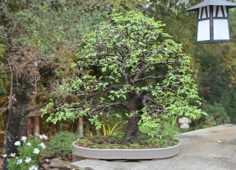 Which Broom - A Chinese Elm one Elm10