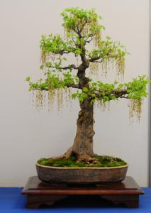 Rare Species Of Bonsai Page 4