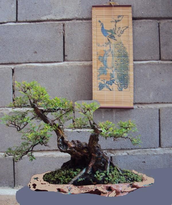 Philantus Neruri/Cendrawasih Tree13
