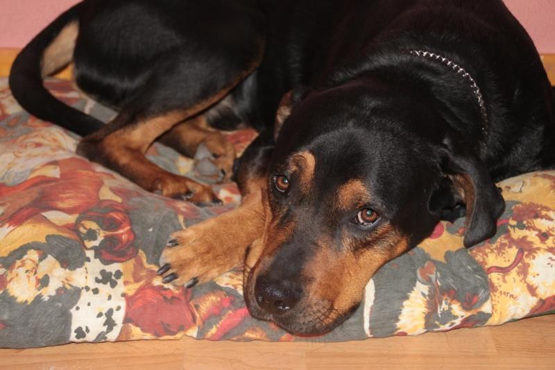 Falco Rottweiler x Beauceron 33576711