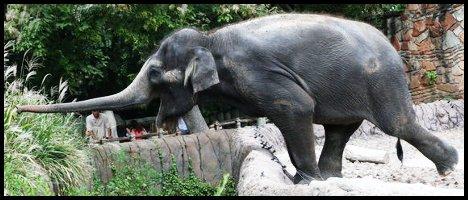 Ganesha - Femelle - Elephant - Adulte Ganesh10