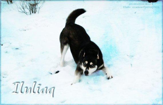 Iluliaq - Mâle - Chien - Jeune adulte Ilulia11